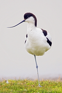 Pied Avocet (Recurvirostra avosetta) resting on one leg, Texel, Netherlands  -  Heike Odermatt