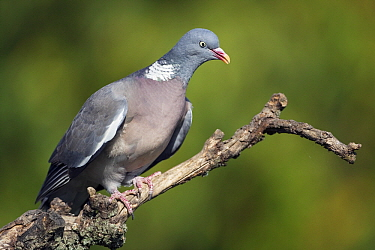 Common Wood-pigeon (Columba palumbus), Germany  -  Heike Odermatt