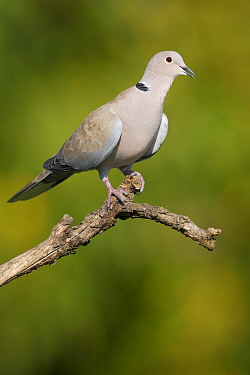 Eurasian Collared-Dove (Streptopelia decaocto), Germany  -  Heike Odermatt