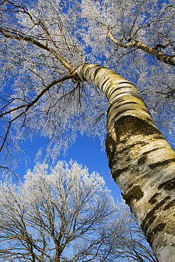 Birch (Betula sp) covered with hoarfrost, Kampina, Noord-Brabant, Netherlands  -  Heike Odermatt