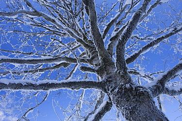 Snow-covered tree, Switzerland  -  Heike Odermatt
