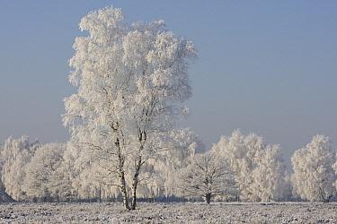 Leafless trees covered in frost, Kampina, Noord-Brabant, Netherlands  -  Heike Odermatt