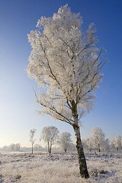 Leafless tree covered in frost, Kampina, Noord-Brabant, Netherlands  -  Heike Odermatt