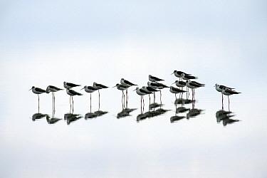 Black-winged Stilt (Himantopus himantopus) group, Lake Ndutu, Ngorongoro Conservation Area, Tanzania  -  Andre Gilden/ NIS