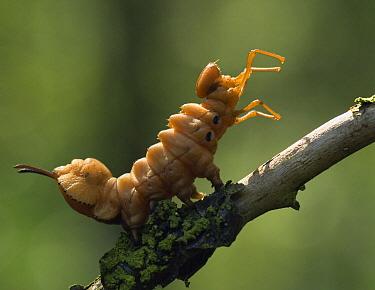 Lobster Moth (Stauropus fagi) caterpillar in defensive posture, Eesveen, Overijssel, Netherlands  -  Jan van Arkel/ NiS