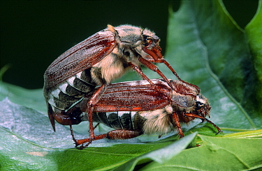 Common Cockchafer (Melolontha melolontha) pair mating, Netherlands  -  Jef Meul/ NIS
