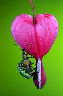 Nettle Leaf Weevil (Phyllobius urticae) pair mating on Bleeding Heart(Dicentra spectabilis) flower, Netherlands  -  Jef Meul/ NIS
