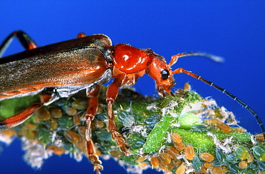 Black-tipped Soldier Beetle (Rhagonycha fulva) feeding on aphids, Netherlands  -  Jef Meul/ NIS