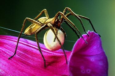 Nursery-web Spider (Pisaura mirabilis) female carrying egg sac, Netherlands  -  Jef Meul/ NIS