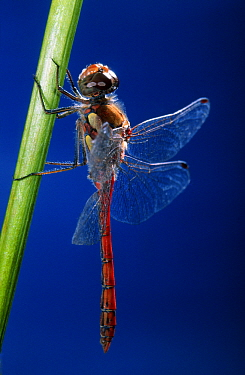 Vagrant Darter (Sympetrum vulgatum) dragonfly on stem, Netherlands  -  Jef Meul/ NIS