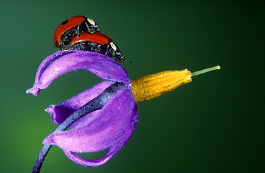Two-spotted Ladybeetle (Adalia bipunctata) pair mating on Bitter Nightshade (Solanum dulcamara), Netherlands  -  Jef Meul/ NIS