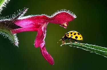 22-spot Ladybird (Psyllobora vigintiduopunctata) with Hedge Woundwort (Stachys sylvatica), Netherlands  -  Jef Meul/ NIS