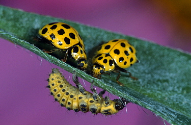 22-spot Ladybird (Psyllobora vigintiduopunctata) with larva, Netherlands  -  Jef Meul/ NIS