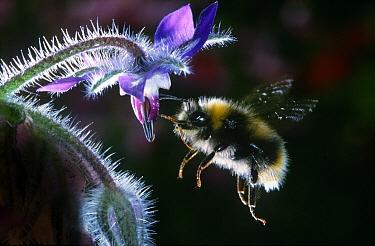 Buff-tailed Bumblebee (Bombus terrestris) hovering next to Common Borage (Borago officinalis), Netherlands  -  Jef Meul/ NIS
