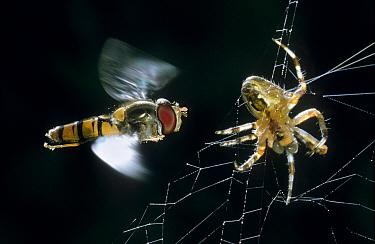 Marmalade Hover Fly (Episyrphus balteatus) flying towards web of a Garden Spider (Araneus diadematus), Netherlands  -  Jef Meul/ NIS