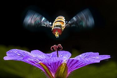 Marmalade Hover Fly (Episyrphus balteatus) flying towards Meadow Cranesbill (Geranium pratense), Netherlands  -  Jef Meul/ NIS