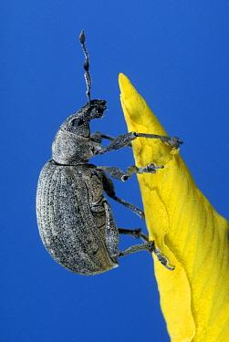 Black Vine Weevil (Otiorhynchus sulcatus), Netherlands  -  Jef Meul/ NIS