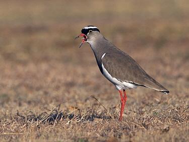 Crowned Lapwing (Vanellus coronatus) calling, South Africa  -  Alexander  Koenders/ NiS