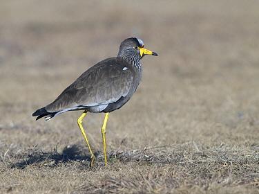 Wattled Lapwing (Vanellus senegallus) walking, South Africa  -  Alexander  Koenders/ NiS