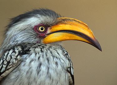 Eastern Yellow-billed Hornbill (Tockus flavirostris), South Africa  -  Alexander  Koenders/ NiS