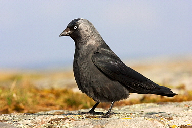 Eurasian Jackdaw (Corvus monedula), Trollhattan, Sweden  -  Jan Wegener/ BIA