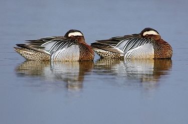 Garganey (Anas querquedula) males sleeping, Zeeland, Netherlands  -  Jan Vink/ NiS