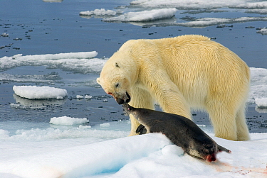 Polar Bear (Ursus maritimus) with dead Bearded Seal (Erignathus barbatus), Svalbard, Norway  -  Rhinie van Meurs/ NIS