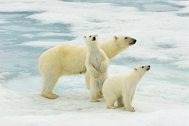 Polar Bear (Ursus maritimus) with young cubs, Svalbard, Norway  -  Rhinie van Meurs/ NIS