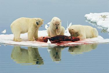 Polar Bear (Ursus maritimus) trio at kill with interested Ivory Gulls (Pagophila , Svalbard, Norway  -  Rhinie van Meurs/ NIS
