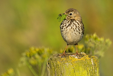 Meadow Pipit (Anthus pratensis) with caterpillars in bill, Arkemheen, Gelderland, Netherlands  -  Jan Sleurink/ NiS