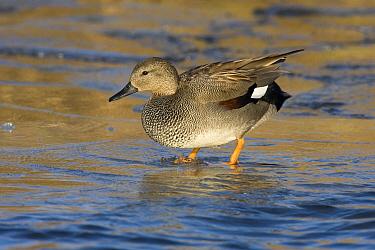 Gadwall (Anas strepera) duck on ice, Arkervaart, Gelderland, Netherlands  -  Jan Sleurink/ NiS