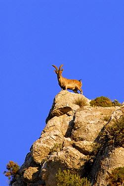 Pyrenean Ibex (Capra pyrenaica) male, Sierra Crestallina, Andalucia, Spain  -  Simon Littlejohn/ NiS