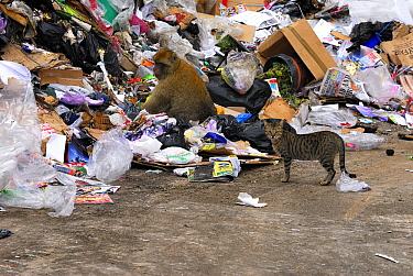 Barbary Macaque (Macaca sylvanus) at rubbish dump with Domestic Cat (Felis catus) nearby, Rock of Gibraltar, Gibraltar  -  Simon Littlejohn/ NiS