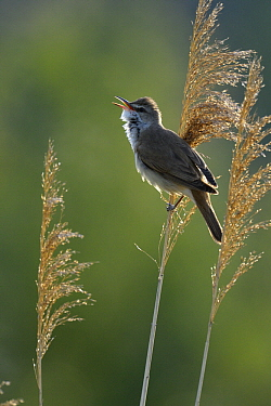 Great Reed-Warbler (Acrocephalus arundinaceus) singing, Hungary  -  Do van Dijk/ NiS