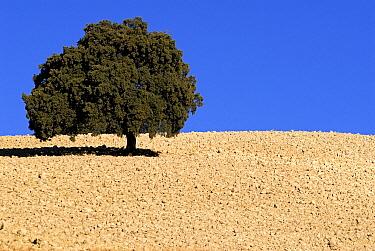 Lonely tree in plowed farmland, Montefrio, Granada, Spain  -  Simon Littlejohn/ NiS