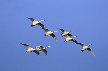 Bewick's Swan (Cygnus columbianus bewickii) flock flying, Schouwen, Zeeland, Netherlands  -  Jan Baks/ NiS