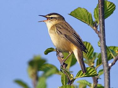 Sedge Warbler (Acrocephalus schoenobaenus) singing, Netherlands  -  Alexander  Koenders/ NiS