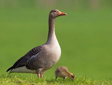 Greylag Goose (Anser anser) female guarding chick, Netherlands  -  Alexander  Koenders/ NiS