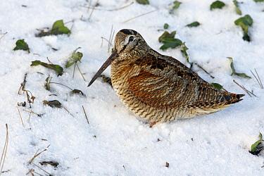 Eurasian Woodcock (Scolopax rusticola) in the snow, Noord-Holland, Netherlands  -  Lesley van Loo/ NiS
