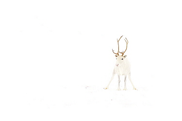 Caribou (Rangifer tarandus) with white coat in snow, Abisko, Sweden  -  Jasper Doest