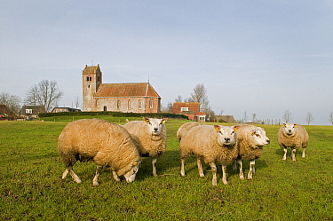 Domestic Sheep (Ovis aries) in front of a church, Ginnum, Friesland, Netherlands  -  Marcel van Kammen/ NiS
