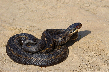 Common European Adder (Vipera berus) male sunbathing in the sand, Groot Schietveld, Antwerp, Belgium  -  Danny Laps/ NiS