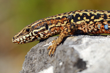 Common Wall Lizard (Podarcis muralis) male, Brenne, Indre, France  -  Danny Laps/ NiS