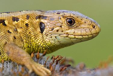 Sand Lizard (Lacerta agilis) female, Gaume, Lorraine, Belgium  -  Danny Laps/ NiS