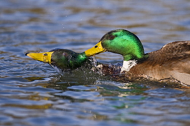 Mallard (Anas platyrhynchos) drake attempting to mate with another drake, Germany  -  Willi Rolfes/ NIS