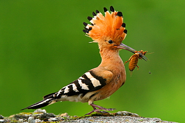 Eurasian Hoopoe (Upupa epops) carrying a European Mole Cricket (Gryllotalpa gryllotalpa) in its bill, Biebrza, Poland  -  Grzegorz Lesniewski/ NIS