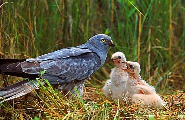 Montagu's Harrier (Circus pygargus) male feeding chicks at nest, Biebrza, Poland  -  Grzegorz Lesniewski/ NIS