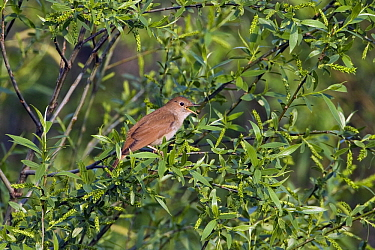 Nightingale (Luscinia megarhynchos) calling, Greece  -  Otto Plantema/ Buiten-beeld