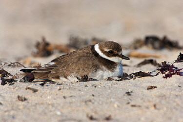 Common Ringed Plover (Charadrius hiaticula) resting on beach, Helgoland, North Sea, Germany  -  Jan Wegener/ BIA