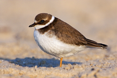 Common Ringed Plover (Charadrius hiaticula) on the beach, Helgoland, North Sea, Germany  -  Jan Wegener/ BIA